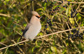 Bohemian Waxwing Stock Photography