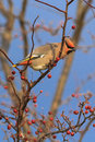 Bohemian Waxwing Stock Photo