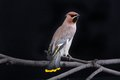 Bohemian waxwing on a black background Stock Images