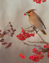 Bohemian Waxwing - Bombycilla garrulus Royalty Free Stock Photo