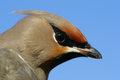Bohemian waxwing bombycilla garrulus rare species of bird in europe Stock Images