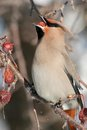 Bohemian Waxwing Eating a Berry Stock Image