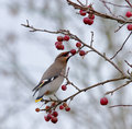 Bohemian Waxwing eating berry Stock Photography