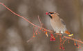 Bohemian Waxwing feeding on berries Royalty Free Stock Photo