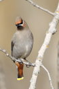 Bohemian waxwing perched branch Royalty Free Stock Photos