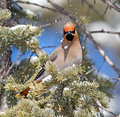 Bohemian waxwing portrait of a these birds are cm long and breed in the coniferous forests of northern europe asia and western Royalty Free Stock Photo