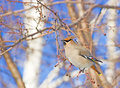 Bohemian waxwing sitting on the branch Stock Image