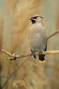 Bohemian waxwing sitting branch Royalty Free Stock Image