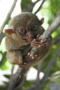 Bohol tarsier monkey philippines Royalty Free Stock Photography