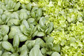 Bok choi and salad in garden Royalty Free Stock Photos