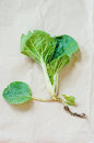 Bok choi seedling ready to be planted Royalty Free Stock Photography