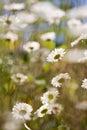 Bokeh daisy day sunny Arkivfoto