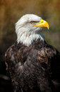 Bold Eagle with dark background Royalty Free Stock Photo