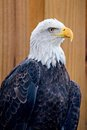 Bold eagle on wooden plant bacground Royalty Free Stock Photo