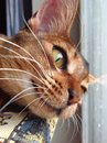 Bold and red the aby cat seven months old abyssinian kitten laying lazily in sun neb close up detail shot Royalty Free Stock Photos