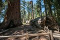 Bole sequoia in national park Stock Photo