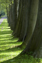 Boles alley of trees with of sycamore trees beside a bysicle way and bright green grass in the sunlight Royalty Free Stock Photo