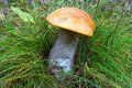 Bolete mushroom Royalty Free Stock Images