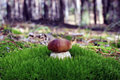 Bolete mushrooms fungus in the wild boletus pinophilus Stock Images