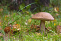 Bolete orange de bouleau Photos stock
