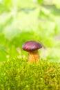 Boletus badius mushroom Royalty Free Stock Image