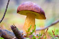 Boletus badius mushroom close up Royalty Free Stock Photo