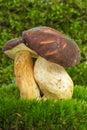 Boletus badius (Xerocomus badius) mushroom Stock Photography