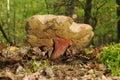 Boletus calopus Royalty Free Stock Photo