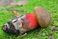 Boletus calopus mushroom Royalty Free Stock Photo