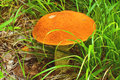Boletus d'Orange-capuchon Photos stock