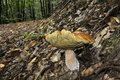 Boletus Edulis Stock Photography
