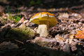 Boletus edulis. Excellent edible mushroom in the undergrowth of a deciduous forest Royalty Free Stock Photo