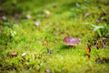 Boletus edulis mushroom growing in a woods Royalty Free Stock Photography