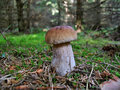 Boletus edulis mushroom moss forest woods funghi porcini Stock Photo