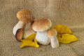 Boletus edulis mushroom still life autumn Royalty Free Stock Photo