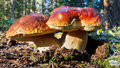 Boletus Edulis Mushrooms Royalty Free Stock Photos