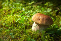 Boletus edulis in natural environment very shallow depth of field Stock Photography