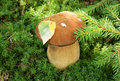 Boletus edulis under firtree branch Stock Image