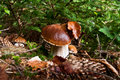 Boletus family growing in the forest Royalty Free Stock Images