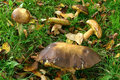 Boletus in a meadow Stock Images
