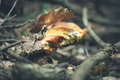 Boletus mushroom autumn photo of in forest Stock Images
