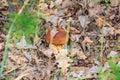 Boletus mushroom in the foliage