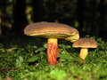 Boletus pruinatus Royalty Free Stock Photos