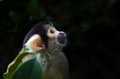 Bolivian black-capped Squirrel Monkey Royalty Free Stock Photo