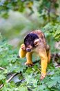 Bolivian squirrel monkey has slept Royalty Free Stock Photo