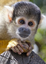 Bolivian Squirrel Monkey Portrait Royalty Free Stock Photo