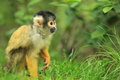 Bolivian squirrel monkey Royalty Free Stock Photo