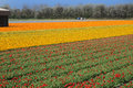 Bollenstreek field with plethora number of red yellow and orange tulips on in netherlands Stock Images
