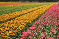 Bollenstreek field with plethora number of yellow and red tulips on in netherlands Royalty Free Stock Images