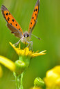 Boloria aquilonaris cranberry fritillary butterfly in spring time Royalty Free Stock Images